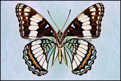 Limenitis Weidemeyerii -Male -Verso