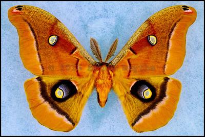 Antheraea Polyphemus(Polyphemus Moth) -Male