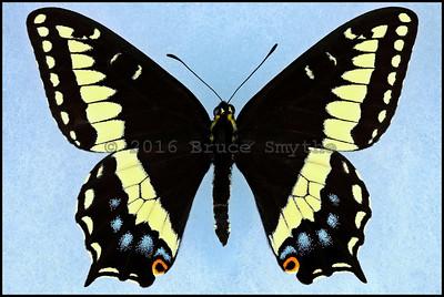 Papilio Indra Phylissae -Male