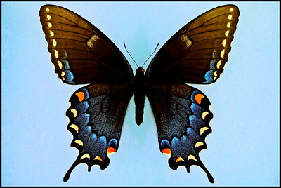 Papilio Glaucus(Eastern Tiger Swallowtail) -Female -Black Form