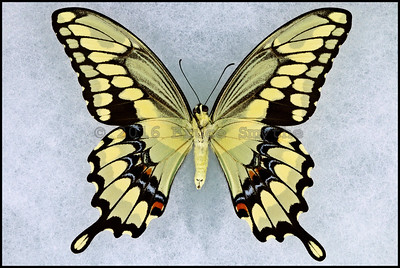 Papilio Cresphontes(Giant Swallowtail) -Male -Verso