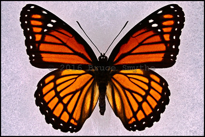 Limenitis Archippus(Viceroy) -Male