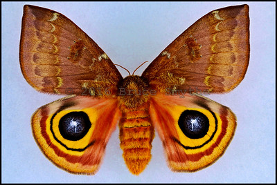 Automeris IO -Female