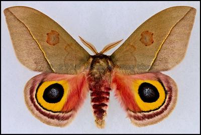 Automeris Cecrops Pamina -Male