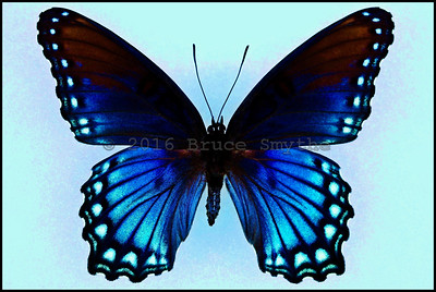 Limenitis Arthemis Arizonensis(Red Spotted Purple) -Female -Recto