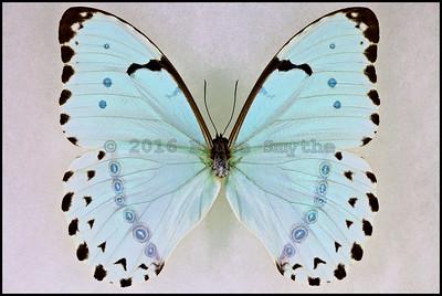 Morpho Catenarius(Mint Morpho) -Male