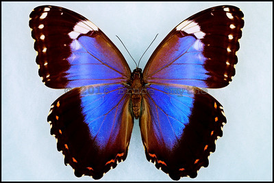 Morpho Violacea -Female -Recto