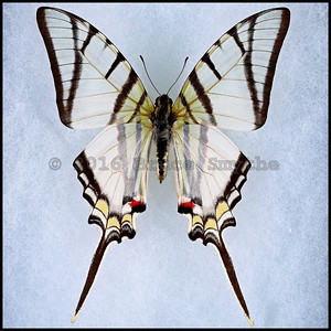 Eurytides Mollops -Male