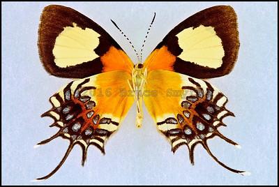 Helicopis Gnidus -Male -Verso