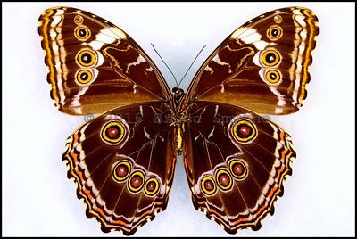 Morpho Violacea -Female -Verso