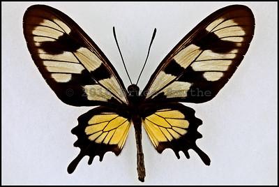 Parides Hahneli(Hahnel's Amazonian Swallowtail) -Female