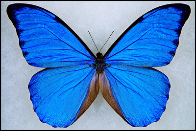 Morpho Anaxibia -Male