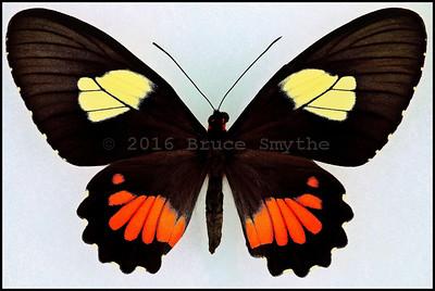 Parides Vertumnus Autumnus -Female