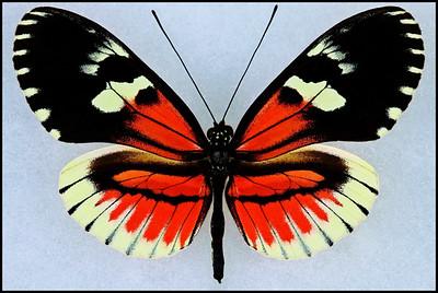 Heliconius Hybrid-6 -Male