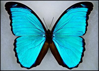 Morpho Melacheilus -Male