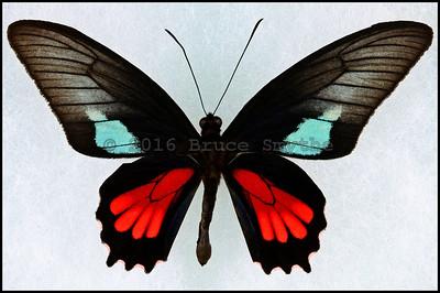 Parides Neophilus -Male