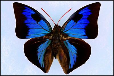 Anaeomorpha Splendida Esmeralda -Male