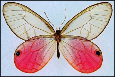 Cithaerias Aurorina(Pink Glasswing) -Male
