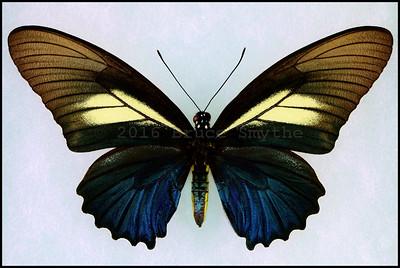 Battus Crassus -Female(Blue Form)