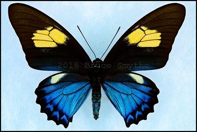 Battus Belus Varus -Form Amazonis -Female