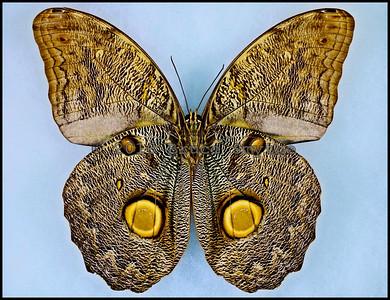 Caligo Eurilochus(Golden Eye Spot Aberration) -Male -Verso