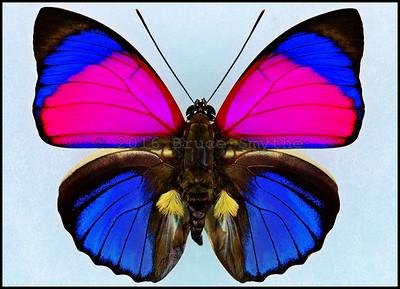 Agrias Claudina Sardanapalus(Hot Pink Form) -Male -Recto