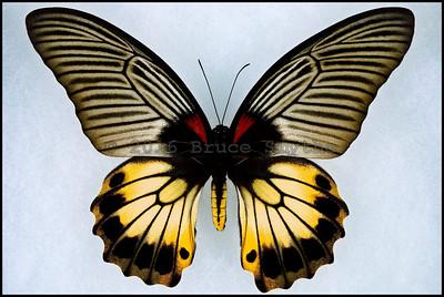 Papilio Memnon ssp-1 -Female