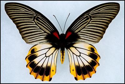 Papilio Memnon ssp-2 -Female