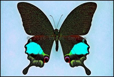 Papilio Karna Carnatus -Male