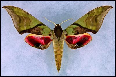 Callambulyx Amanda -Female