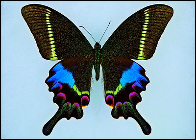 Papilio Krishna Thawgawa -Male