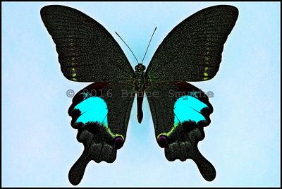 Papilio Paris Paris -Male