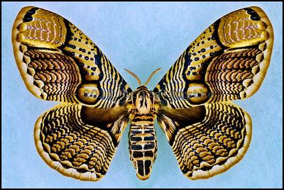 Brahmaea Hearseyi -Female