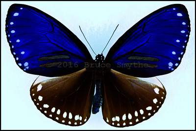 Euploea Sylvester Harrisii(Double-Branded Blue Crow) -Male