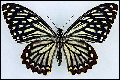 Chilasa Clytia(Common Mime) form Dissimilis -Female