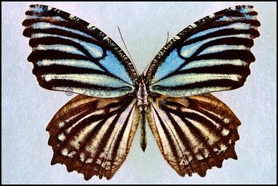 Elymnias Nesaea Kamarina -Male
