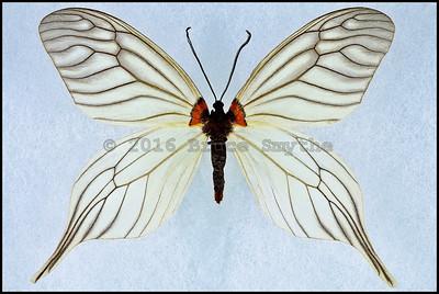 Elcysma Dohertyi -Male