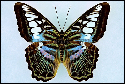 Parthenos Sylvia Lilacinus(Blue Clipper) -Male