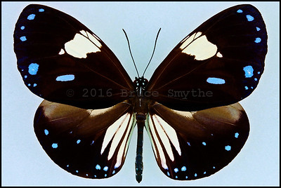 Euploea Radamanthus Radamanthus(Magpie Crow) -Male
