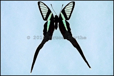 Lamproptera Meges Decius(Green Dragontail) -Male
