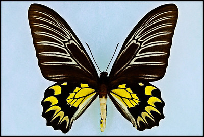 Troides Magellanus(Magellan Birdwing) -Female