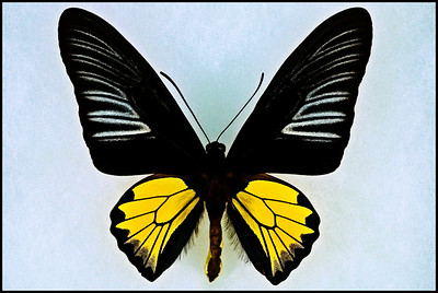 Troides Rhadamantus(Golden Birdwing) -Male -Recto