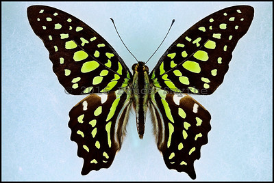 Graphium Agamemnon(Tailed Jay) -Male