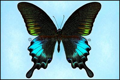 Papilio Bianor Pinratanai -Male