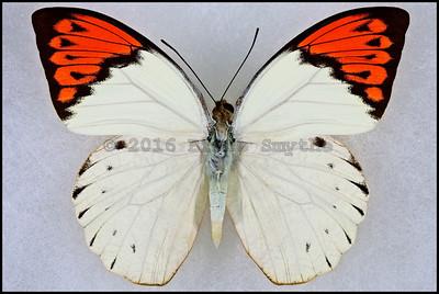 Hebomoia Glaucippe Aturia(Great Orange Tip) -Male