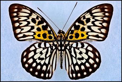 Neurosigma Siva Nonius(The Leopard) -Male