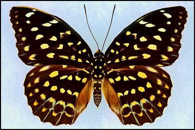 Lexias Pardalis Jadeitina(Common Archduke) -Female
