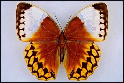 Stichophthalma Louisa(Siamese JungleQueen) -Male -Recto