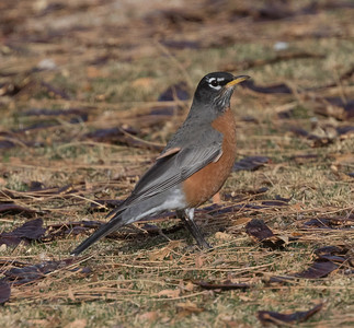American Robin Coso Junction 2019 11 14-1.CR2