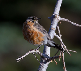 American Robin Mammoth Lakes 2014 08 19 (1 of 1).CR2